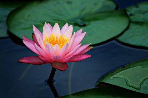kamala  the lotus goddess  brave world, Beautiful flower